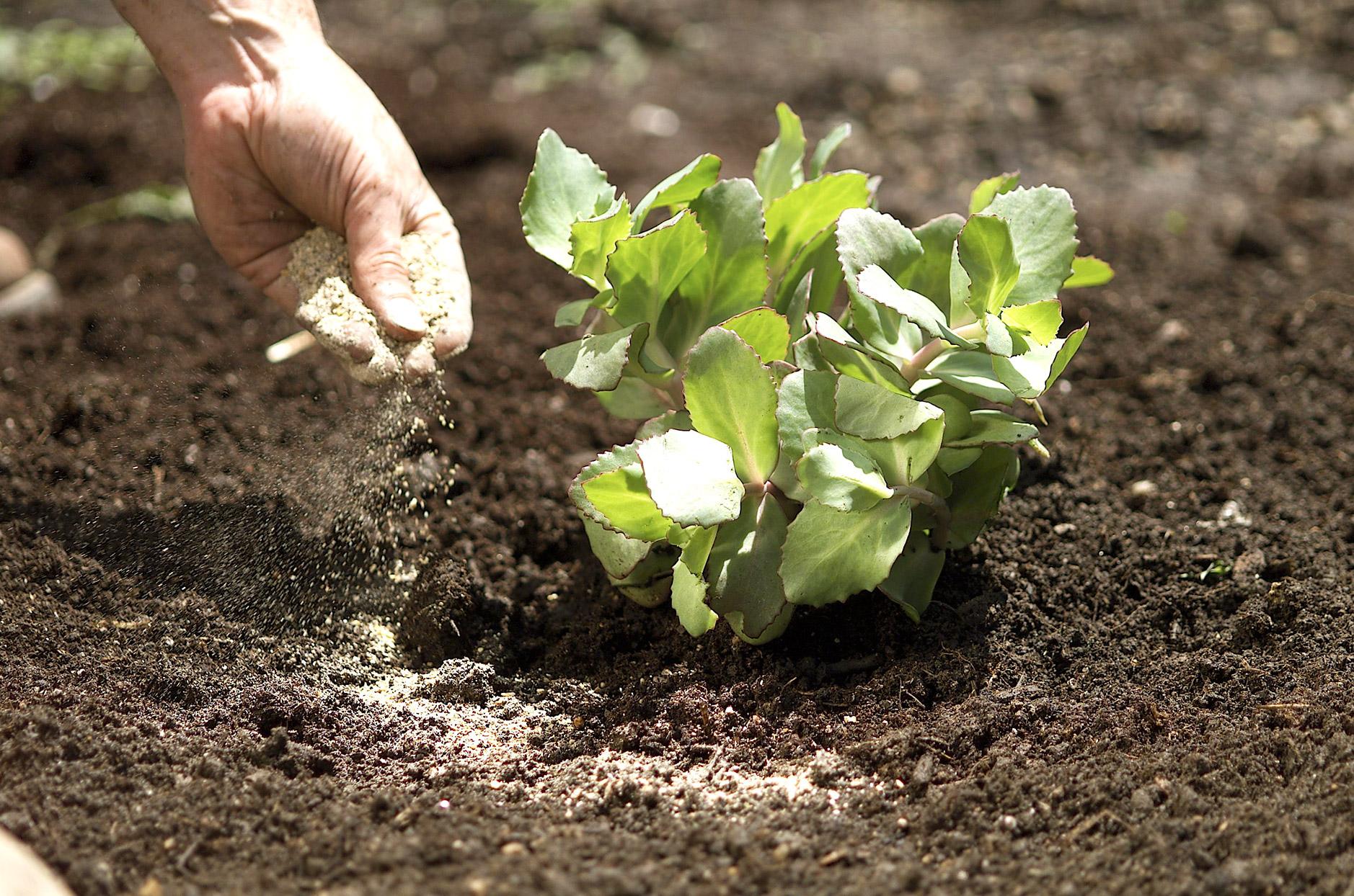 man-fertilizing-perennial-in-dirt-a9382036