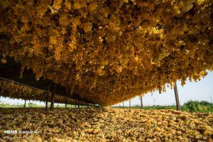 طرح سرشاخه کاری انگور و گردو راهی برای مبارزه با سرما و افزایش تولید در استان همدان