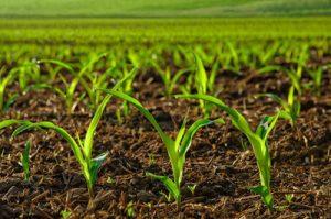 افزایش ۲۰ درصدی تولید لوبیا در مزارع چهارمحال و بختیاری