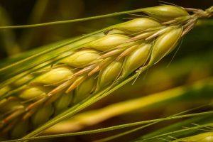 ۵ میلیون تن گندم کشاورزان را امسال بخش خصوصی میخرد