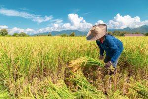 ایران رتبه ۲۸ تولید برنج دنیا را دارا است