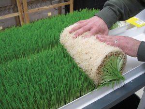 کارگاه تولید علوفه به روش بدون خاک در بافق راه اندازی شد